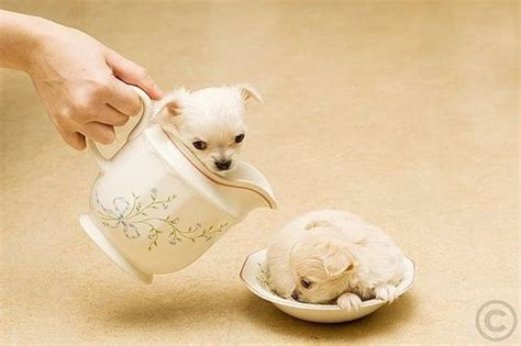 Tea cup puppies.   ?I?m a little teapot?) Chihuahua Puppy Dog Photography Puppies Doggie Pup #