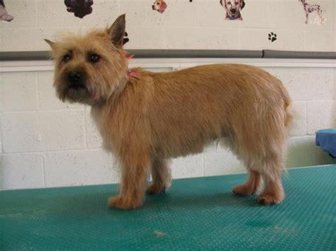 dog grooming cairn terrier terrier dog grooming photos