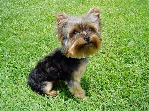 yorkie puppies for sale in detroit michigan 67 best images about yorkies and friends on teacup maltese puppies yorkie