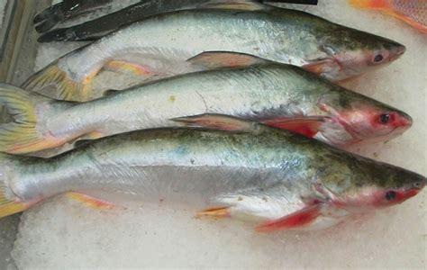 come cucinare il pesce siluro pesce falso tonno branzino sogliola e pangasio o