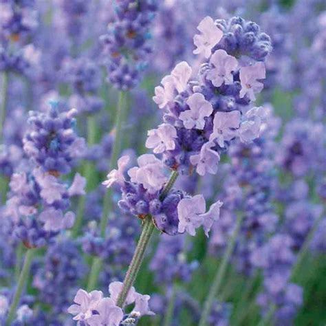 buy lavender lavandula angustifolia melissa lilac dow4 pbr