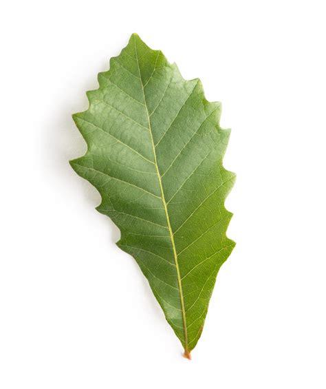 Sw White Oak White Oak Leaf
