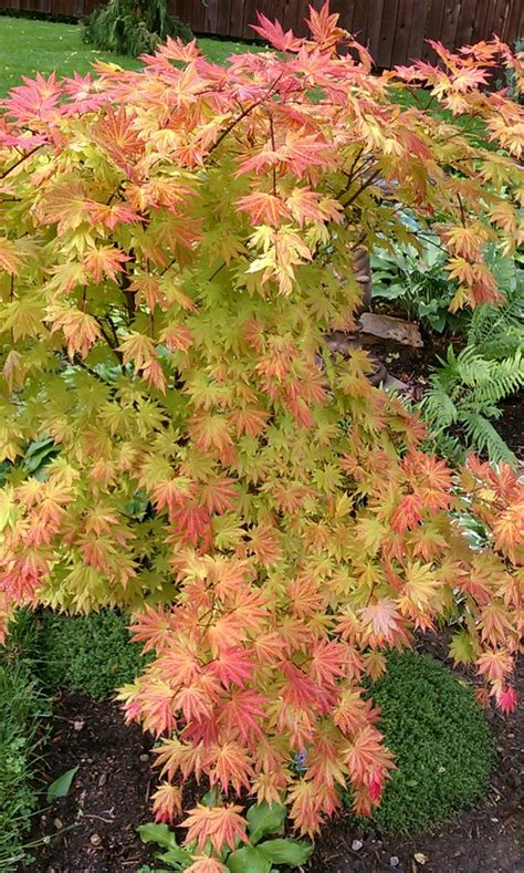 maple tree zone 6 108 best acer images on acer palmatum japanese maple and plants
