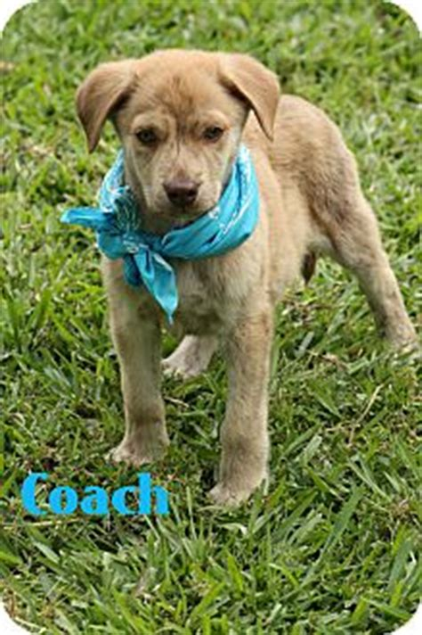 catahoula golden retriever mix coach adopted puppy haggerstown md golden retriever catahoula leopard mix