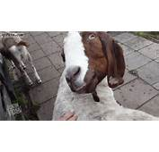 Goat Twisting Neck  Best Funny Gifs Updated Daily