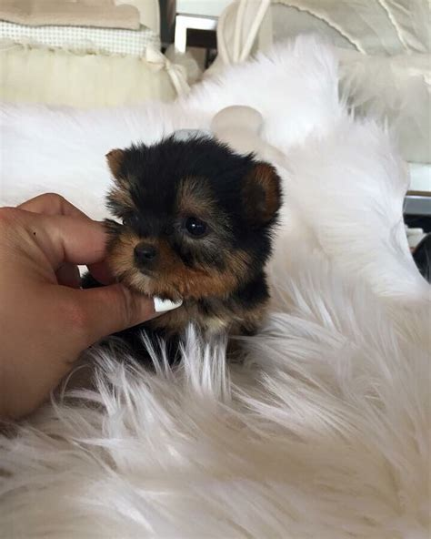 woof woof puppies boutique doll yorkies at woof woof puppies yelp