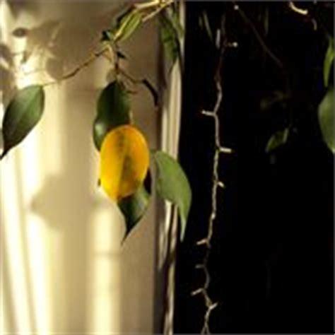 Ficus Benjamin Come Curarlo by Potatura Ficus Benjamin Potatura Come Far Bene Il