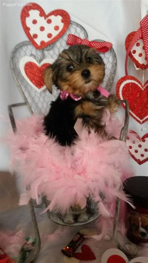 yorkie puppies indiana 19 best images about adorable teacup puppies for sale on