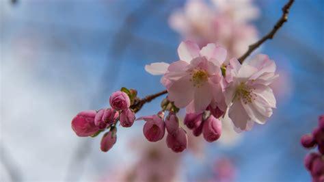 wallpaper daun sakura wallpaper makanan taman cabang buah bunga sakura