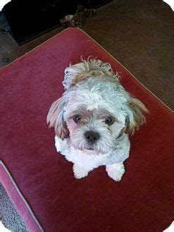 shih tzu puppies indianapolis indianapolis in shih tzu mix meet smokey a for adoption
