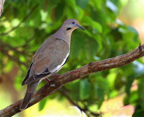 treknature white winged dove photo