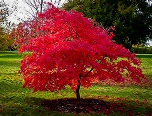 Small Hardy Flowering Shrubs - flame amur maple for sale online the tree center