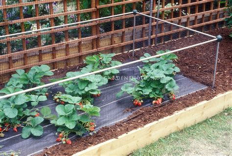 Garden Protection by Protecting Strawberries From Animals Plant Flower