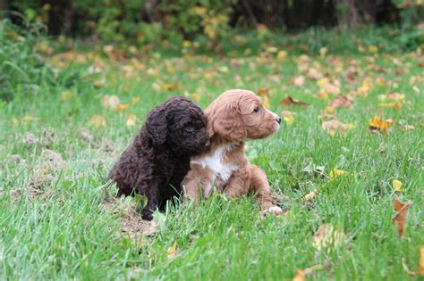 labradoodle vs golden retriever golden retriever and goldendoodle images