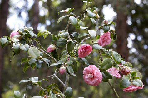how to prune camellia gardening knowledge 99roots com