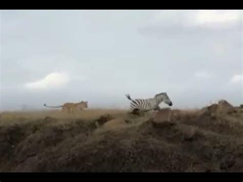 cheetahs eat zebra vidoemo emotional video unity