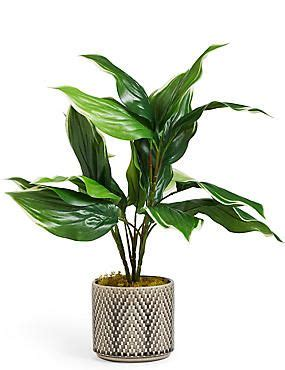 medium hosta plant  ceramic hosta plants plants