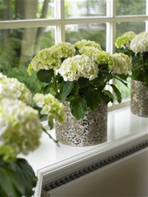 Pflege Hortensien Im Topf 4358 by Hortensien Im Fr 252 Hjahr Hortensien Pflanzen Und
