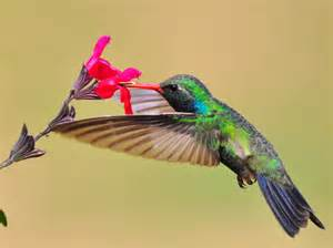 hummingbird habitats hummingbirds plus