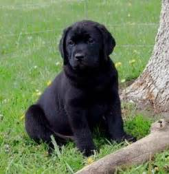 labrador golden retriever mix for sale golden retriever black lab mix puppies for sale baby animals
