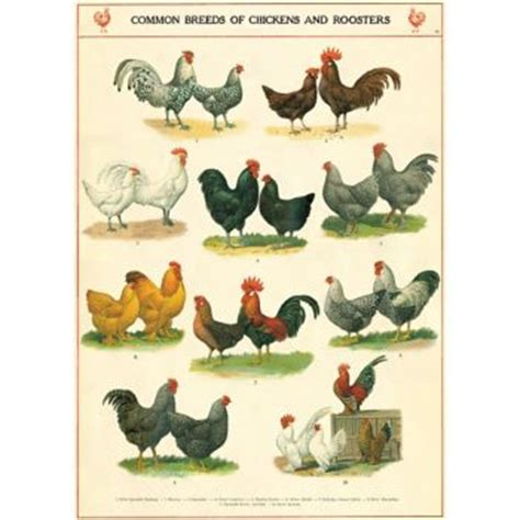 egg splore cookbook the gifts of chicken for your kitchen books cavallini chickens roosters wrapping paper