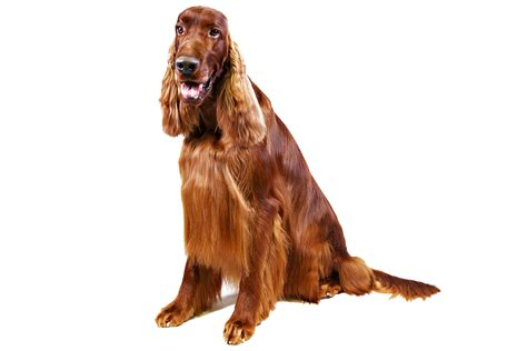 setter dog traits pinterest the world s catalog of ideas