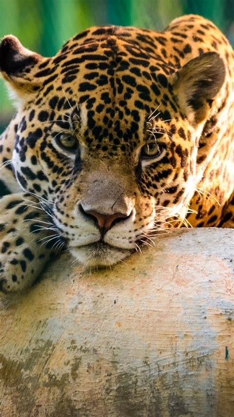wallpaper jaguar wild cat sad face animals