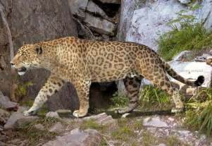 Prehistoric Jaguar All The World Animals 10 Prehistoric Cats