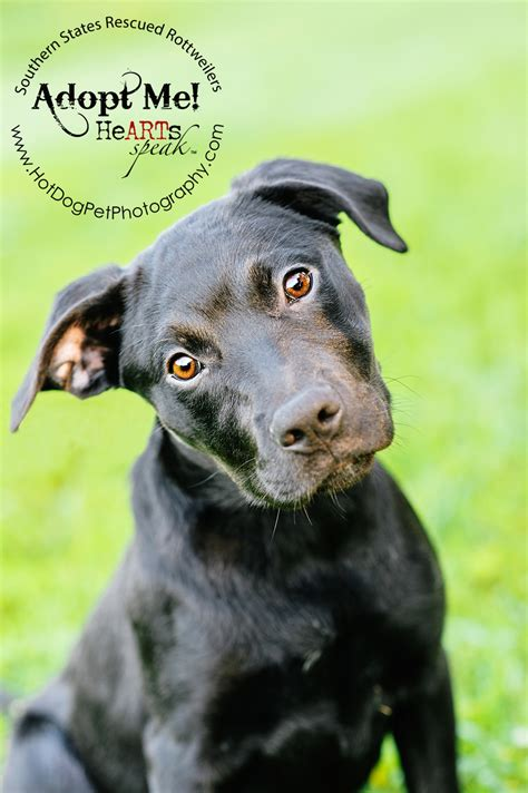 southern states rescued rottweilers dakota the rottweiler lab mix southern states rescued rottweilers 187 pet