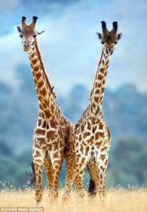giraffe swing images appear to show pair of giraffes swaying to the beat