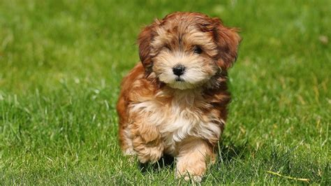 havanese cost puppy havanese puppies for sale and for adoption with and images