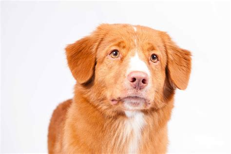 duck toller puppy scotia duck tolling retriever breed information american kennel club