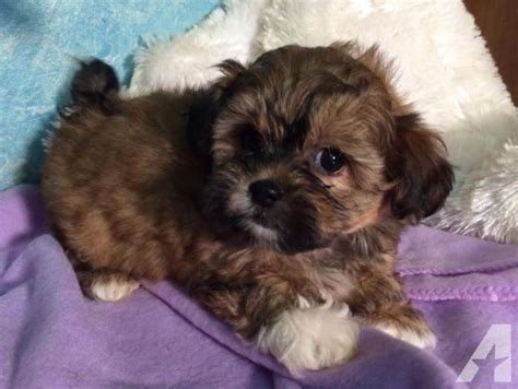 poodle and shih tzu mix puppies for sale sweet shih tzu poodle mix puppies for sale in barren illinois