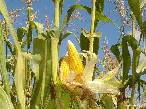 Benih Wortel Dari Cina budidaya tanaman jagung miikoriza