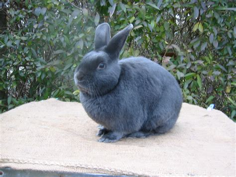 rabbit color calculator dilute rabbit color genetics