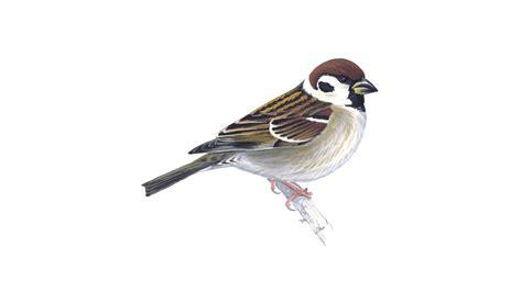 tree sparrow bird facts passer montanus the rspb