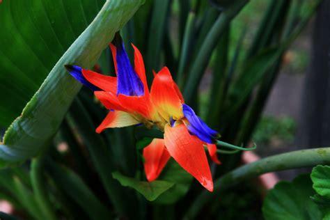 uccelli paradiso fiori l uccello paradiso foto immagini piante fiori e