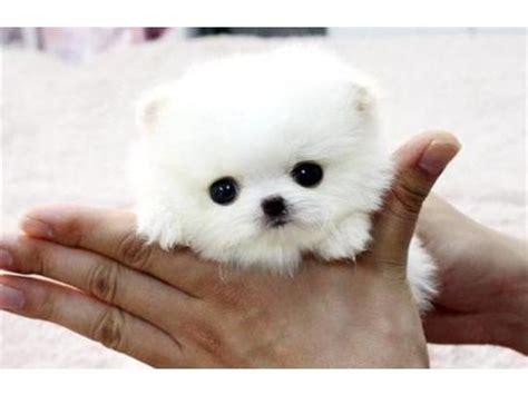 yorkie terrier mini en adopcion regalo mini cachorros pomeranian mach en mulege anuncios clasificados gratis