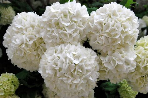 imagenes de lilas blancas fotos de flores arbusto de flores enormes