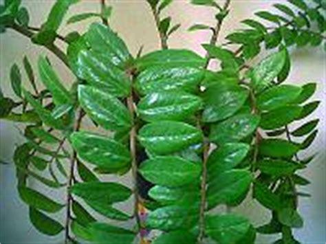 Pohon Dolar Rambat Daun Besar hijau mengkilap tanaman dollar