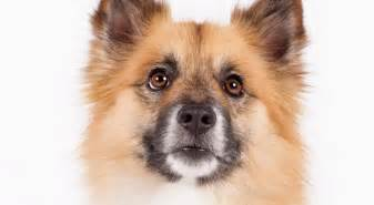 Icelandic sheepdog dog breed history and some interesting facts