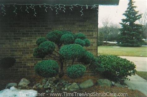 shrub topiary topiary shrubs cloud pruning landscaping