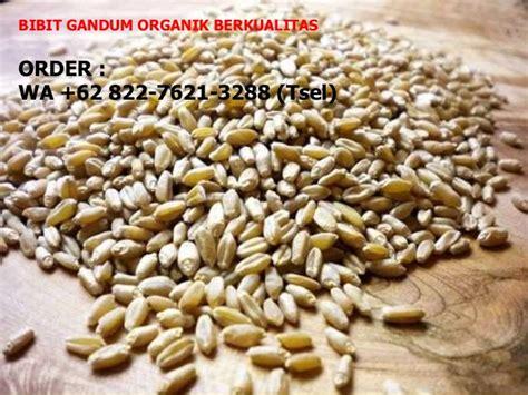 Jual Bibit Rumput Gandum Di Malang 62 822 7621 3288 tsel bibit wheatgrass jakarta