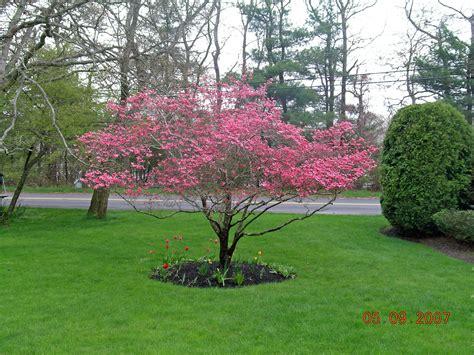 pink dogwood tree image google search landscape plants pinterest dogwood trees pink