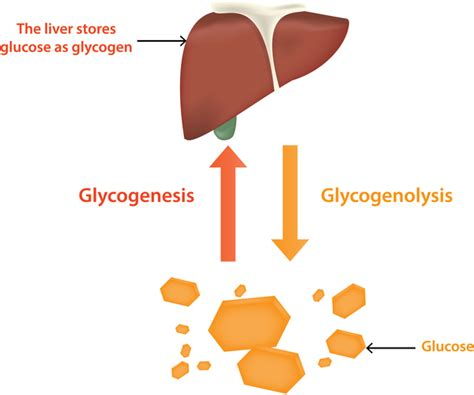 carbohydrates are stored as glycogen in the glycogen storage disease type 0 genetics home reference