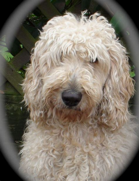 mini goldendoodle new jersey 17 best images about doodles on