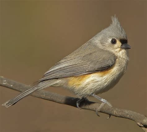 tufted titmouse come fly with me pinterest