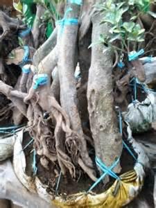 murah afrakids af103 bonsai beringin jual bonsai beringin jual rumput gajah