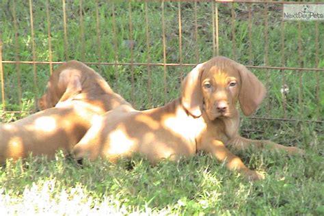 vizsla puppies price vizsla puppy for sale near greenville upstate south carolina ff1f2413 2fb1