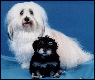 havanese average weight havanese for sale
